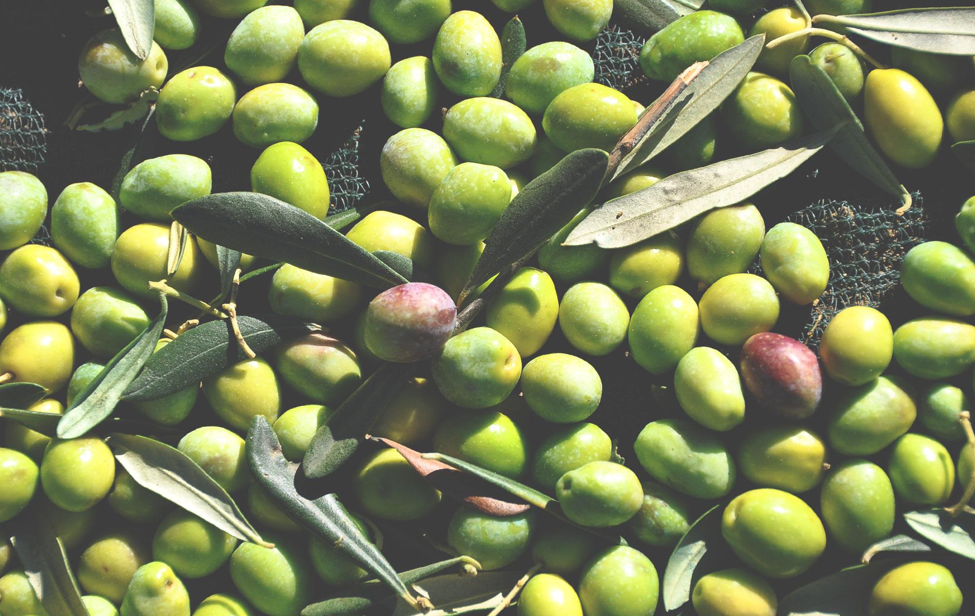 L'oliva di peranzana